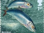 sust fish 1st herring.jpg
