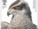 birds of prey 1st goshawk.jpg