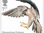 birds of prey 1st peregrine falcon.jpg